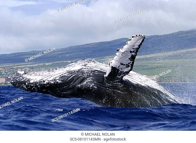 Humpback Whale Megaptera novaeangliae Breaching on the Auau Channel, Maui, Hawaii, North America