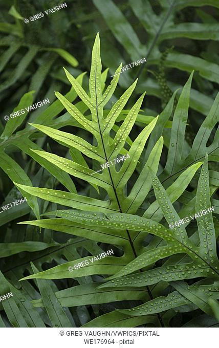 Laua'e fern (Microsorum scolopendria); Liliuokalani Gardens, Hilo, Island of Hawaii