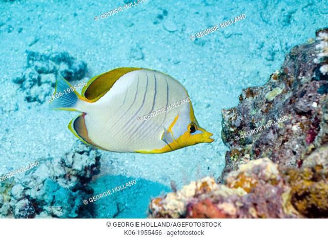 Yellowheaded/Goldring buterflyfish (Chaetodon xanthocephalus). Maldives