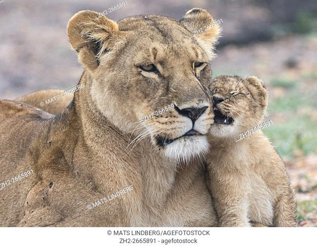 Lioness with cub fondleing with each other, Masai mara, Kenya, Africa