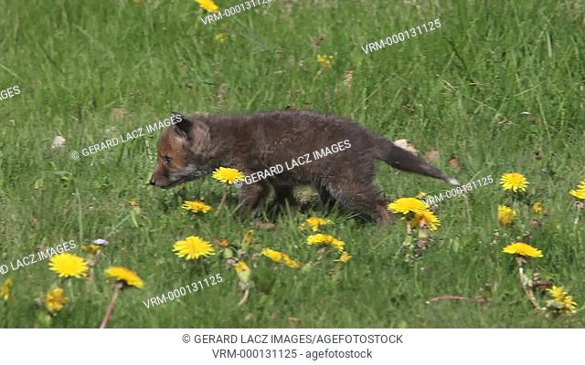 Red Fox, vulpes vulpes, Pup Walking in Meadow with Yellow Flowers, Normandy in France, Real Time