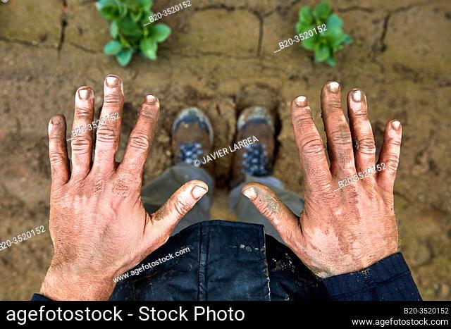 Dirty hands of farmer, Agricultural field, Calahorra, La Rioja, Spain, Europe