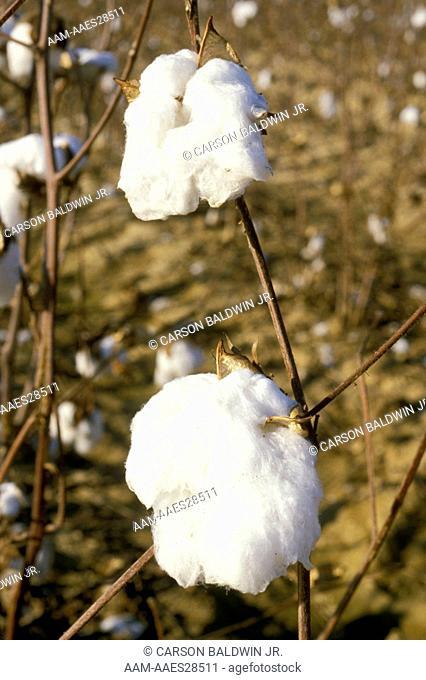 Cotton ready to harvest (Gossypium hirsutum) Mississippi, USA