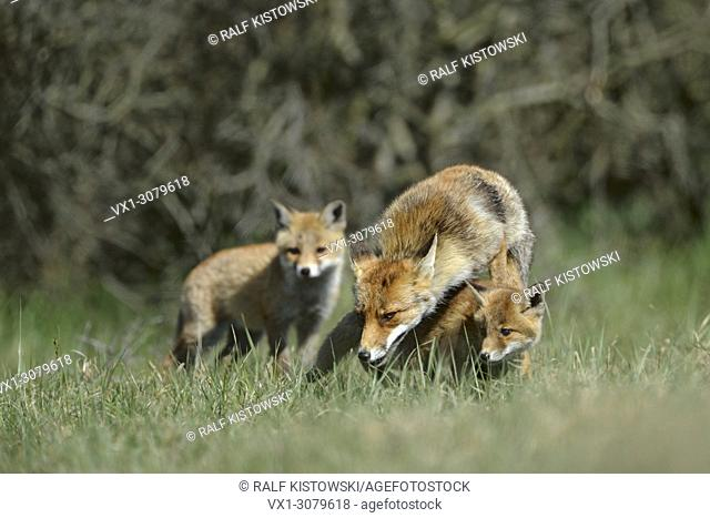 Red Foxes (Vulpes vulpes), female with two cubs, fox family plays together in the grass in front of some bushes, wildlife, Europe