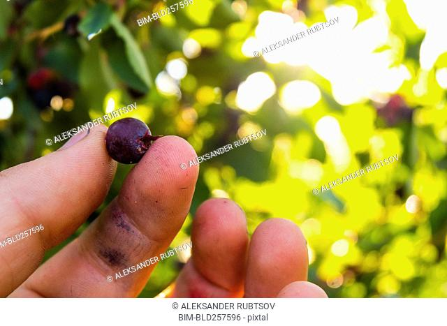 Fingers holding blueberry