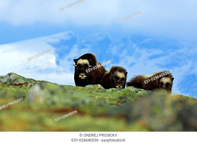 Musk Ox, Ovibos moschatus, three brown animals, females with cub