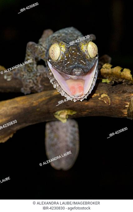 Giant leaf-tailed gecko (Uroplatus fimbriatus), with open mouth, threatening pose, on a branch, Nosy Mangabe, Antongil Bay, Madagascar