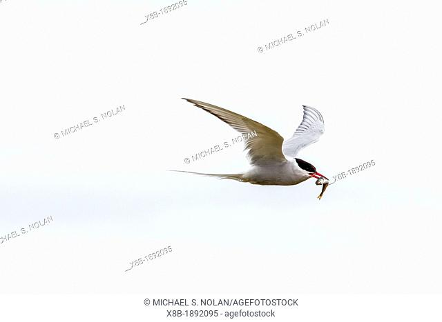 Adult arctic tern, Sterna paradisaea, returning to chick with small fish, Flatey Island, Iceland