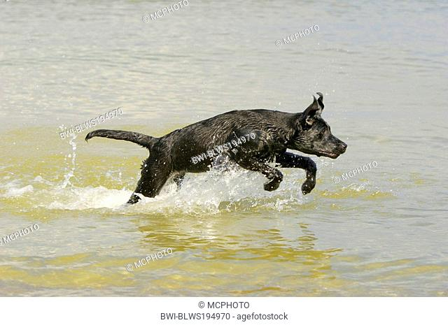 Labrador Retriever Canis lupus f. familiaris, jumps through water frolicsomely