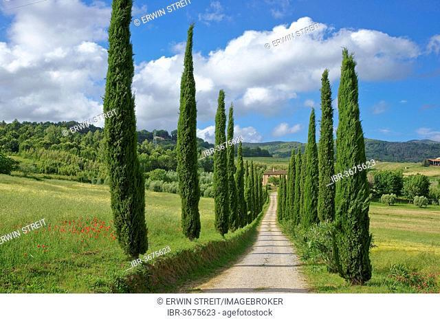 Cypress avenue to a Tuscan farmhouse, Tuscany, Italy