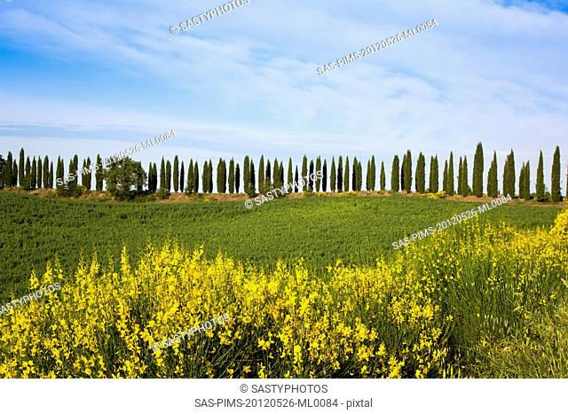 Trees and plants on a hill, Siena, Siena Province, Tuscany, Italy