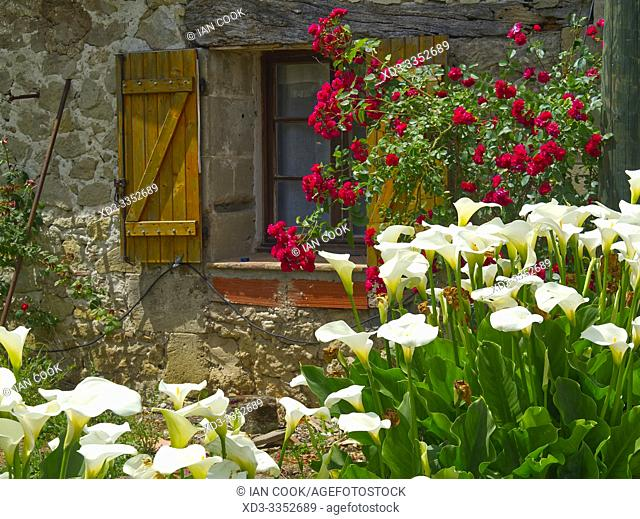 cala lilies, Zantedeschia aethiopica, and roses beside a stone house, Lot-et-Garonne Department, Nouvelle Aquitaine, France