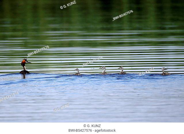 great crested grebe (Podiceps cristatus), adult with four chicks, Romania, Danube Delta
