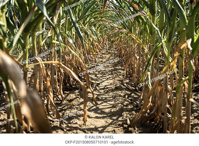 Corn field withered due to lack of water, Ostrava, Czech Republic, August 5, 2015. (CTK Photo/Karel Kalon)
