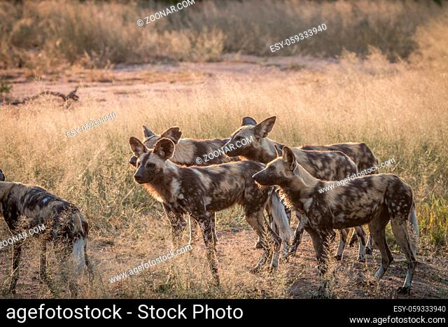 A pack of African wild dogs in the grass in the Sabi Sand Game Reserve, South Africa