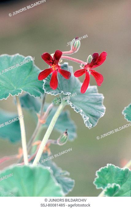 DEU, 2004: Umckaloabo (Pelargonium reniforme, Pelargonium sinoides), flowering