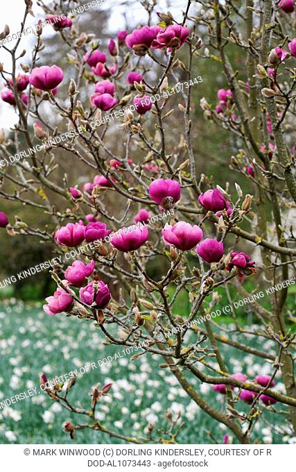 Magnolia Black Tulip = 'Jurmag1'