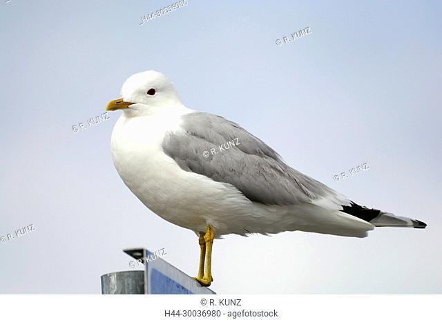 Mew Gull, Larus canus, Laridae, Gull, breeding plumage, bird, animal, Marsstrand, Västra Götaland, Sweden