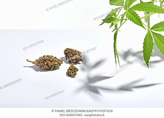 Marijuana buds and marijuana bush isolated on white background. Studio shot