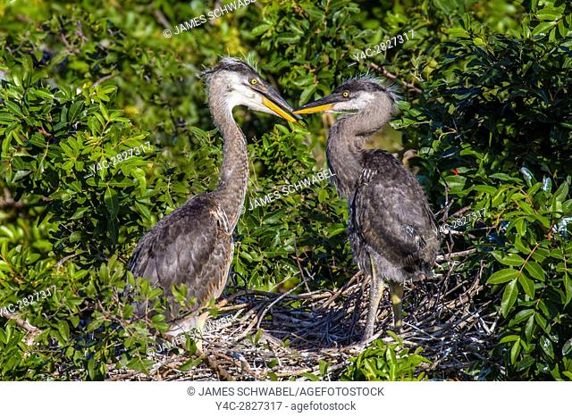 Pair of Great Blue Heron chicks at the Venice Rookery in Venice Florida