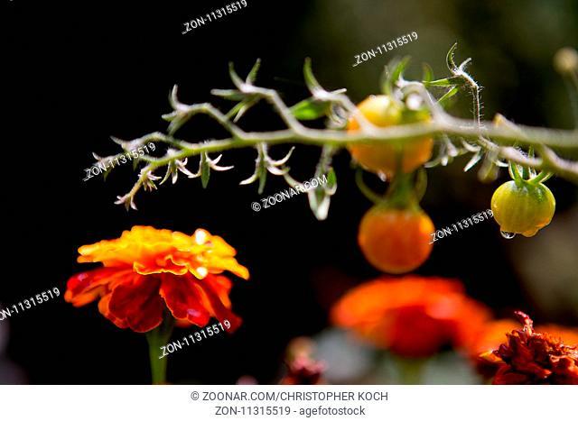 Tomaten am Zweig über Studentenblumen, 2017