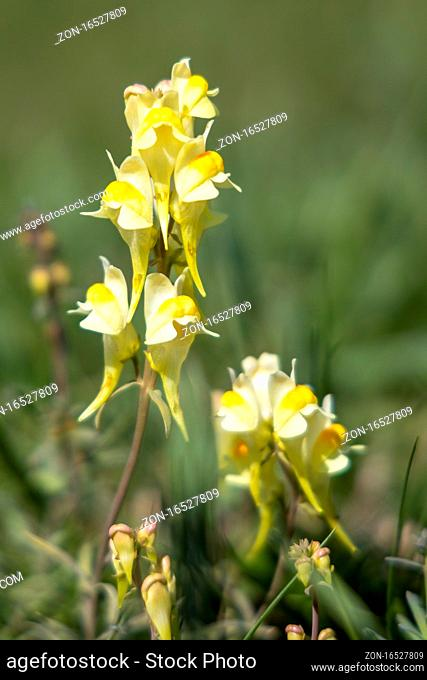 Butter and Eggs (Linaria vulgaris Mill.) growing on the South Downs near Alfriston, East Sussex