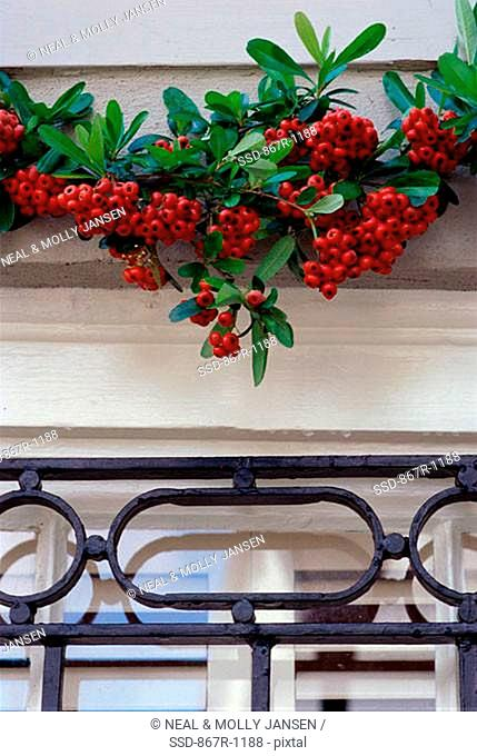 Christmas holly over a doorframe