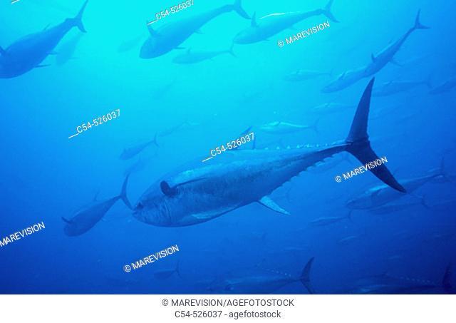 Northern Bluefin Tuna (Thunnus thynnus). Galicia, Spain