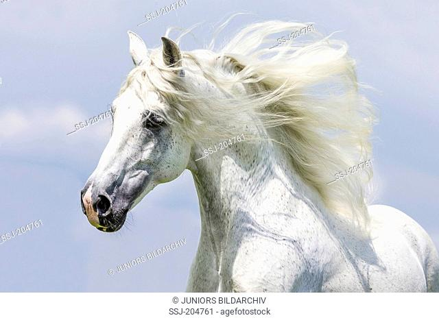 Pure Spanish Horse, Andalusian. Portrait of gray stallion with mane flowing. Germany
