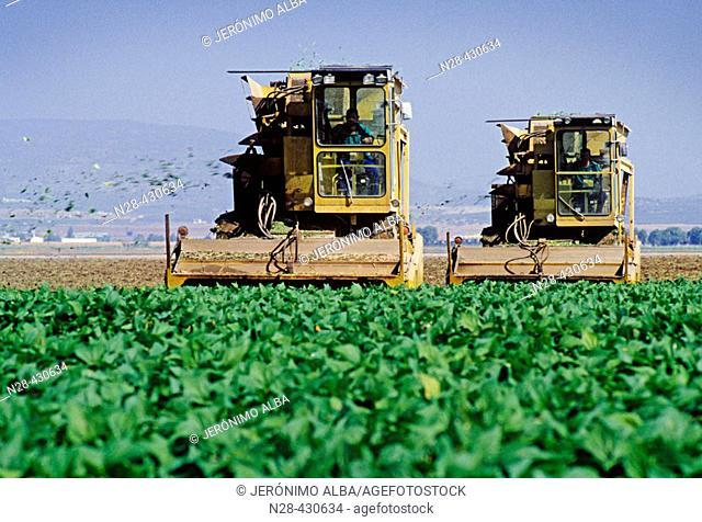 Combines harvesting broad beans. Vega de Antequera, Málaga province. Andalusia, Spain
