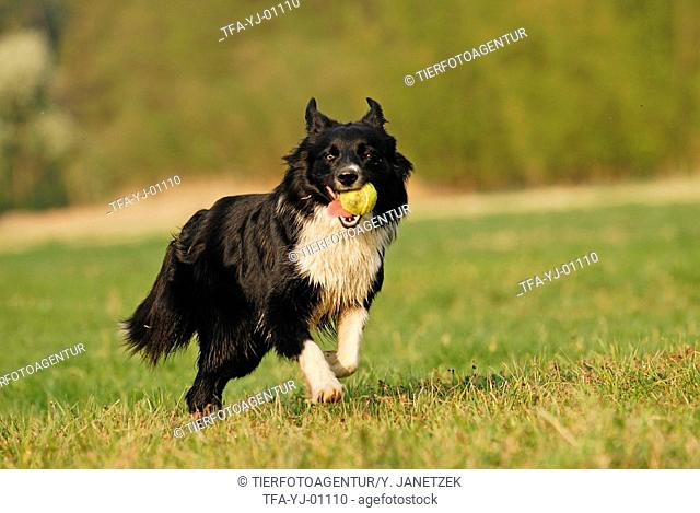 playing Border Collie