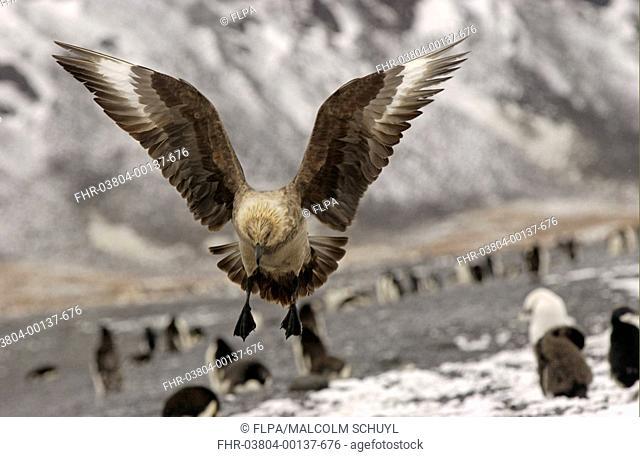 Antarctic Skua Catharacta antarctica In flight, coming in to land, Ross Sea, Antarctica