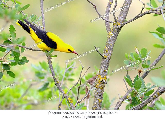 Golden Oriole (Oriolus oriolus) adult male in tree, looking down, Catalonia, Spain