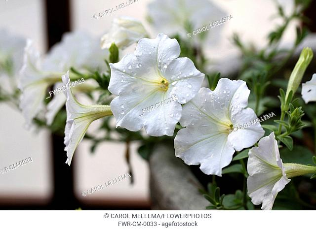 Petunia cultivar. Large, white, trumpet shaped flowers scattered with raindrops