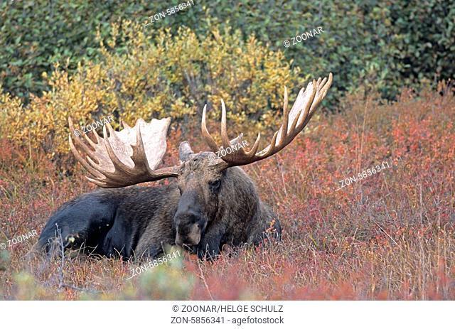 Elchschaufler ruht in der Tundra - (Alaska-Elch) / Bull Moose resting in the tundra - (Alaska Moose) / Alces alces - Alces alces (gigas)