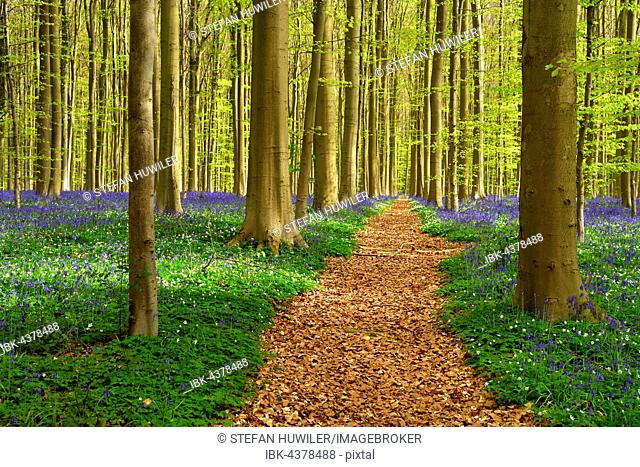 Path through forest, European beech (Fagus sylvatica), bluebells (Hyacinthoides) and wood anemones (Anemone nemorosa), Hallerbos, Vlaams Brabant, Belgium