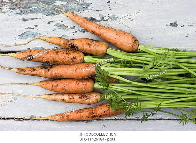 Freshly harvested carrots covered with soil