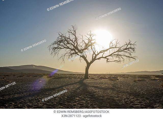 Acacia tree with the sunset in the Namib-Naukluft National Park in Namibia, Africa