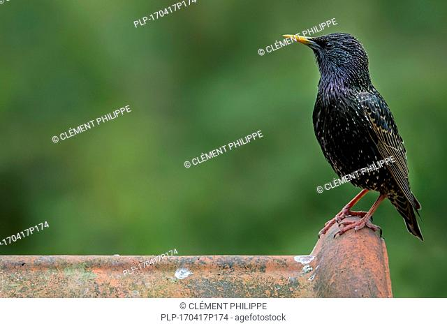 Common starling / European starling (Sturnus vulgaris) male perched on roof tile of house