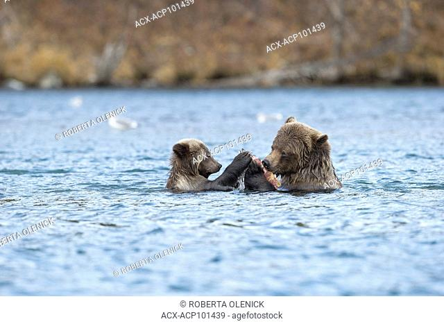 Grizzly bear (Ursus arctos horribilis), female eating sockeye salmon (Oncorhynchus nerka), as cub of the year watches/food begs, Central Interior
