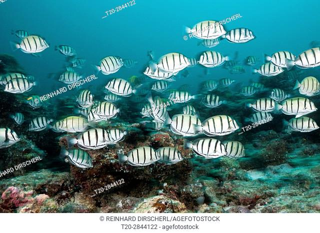 Shoal of Convict Surgeonfish, Acanthurus triostegus, South Male Atoll, Maldives