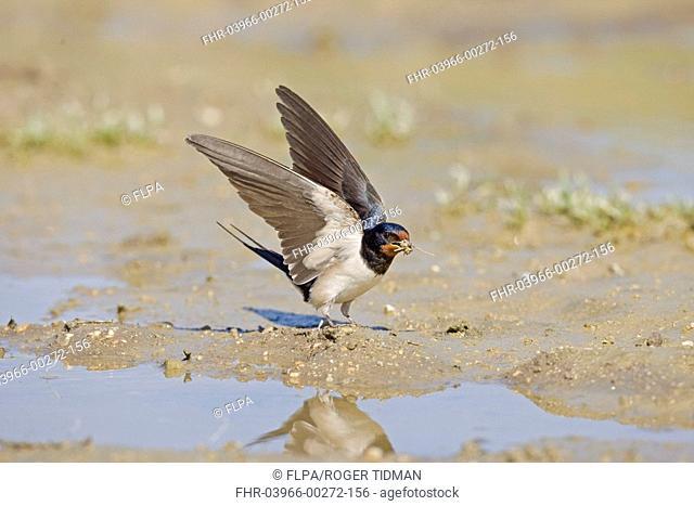 Barn Swallow Hirundo rustica adult, collecting mud nesting material at waters edge, Spain