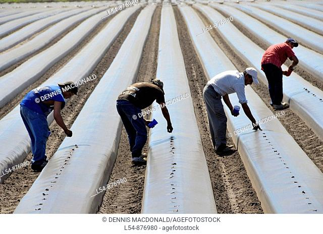 Migrant farm workers plant tomatoes in raised beds Plant City Florida Central