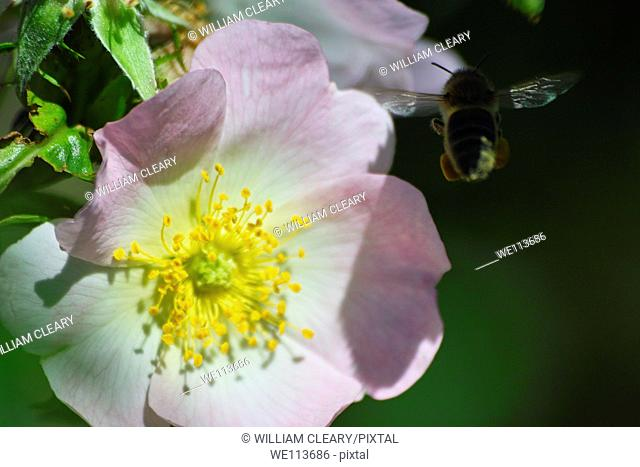 Honeybee flying towards rose flower