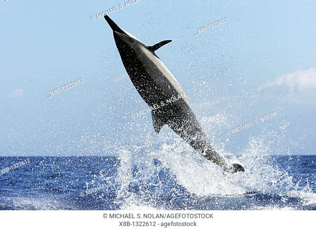 Adult Hawaiian Spinner Dolphin Stenella longirostris 'spinning' in the AuAu Channel between Maui and Lanai, Hawaii, USA  Pacific Ocean