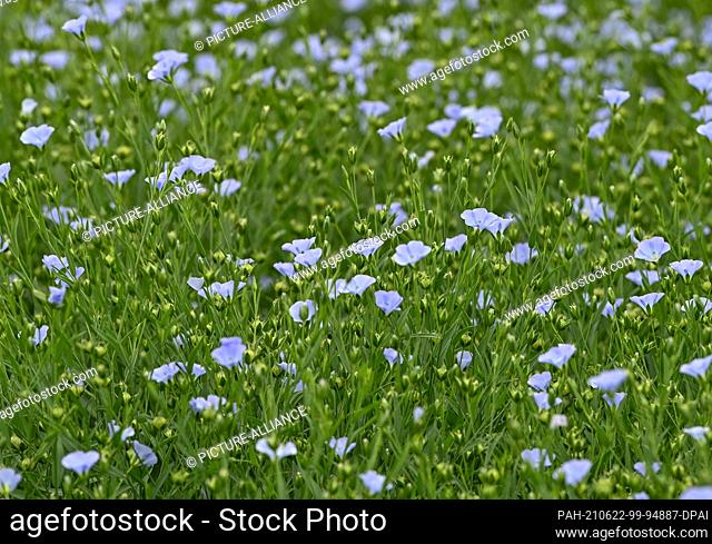 22 June 2021, Brandenburg, Dürrenhofe: Flowers and fruiting bodies of flax are seen on a field of the agricultural cooperative Unterspreewald e.G