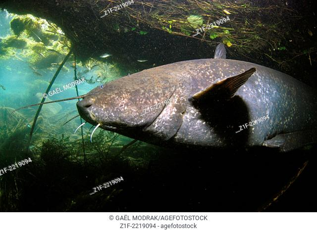 Wels catfish in the Rhône river, France. Silurus glanis