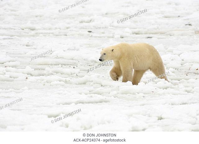 Polar bear Ursus maritimus walking along Hudson Bay coastline