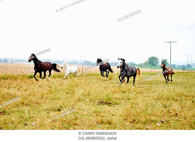 Five horses galloping across field