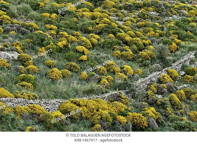 Spinosa Calicotome, gorse, Cala Torta, Arta, Mallorca, Balearic Islands, Spain